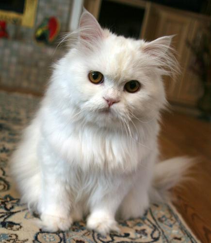 Exotic Shorthair Cat For Sale Pakistan