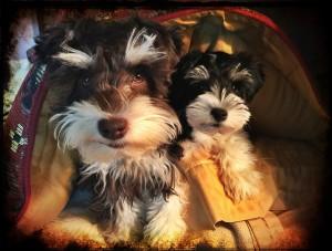 cute-puppy-970693_1920