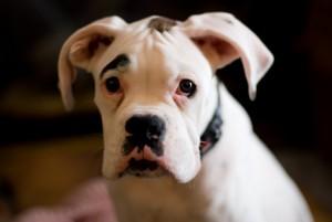 White Boxer Dog Loki Puppy