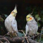 nymph-parakeets-741374_640